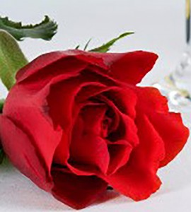 bachelor rose only